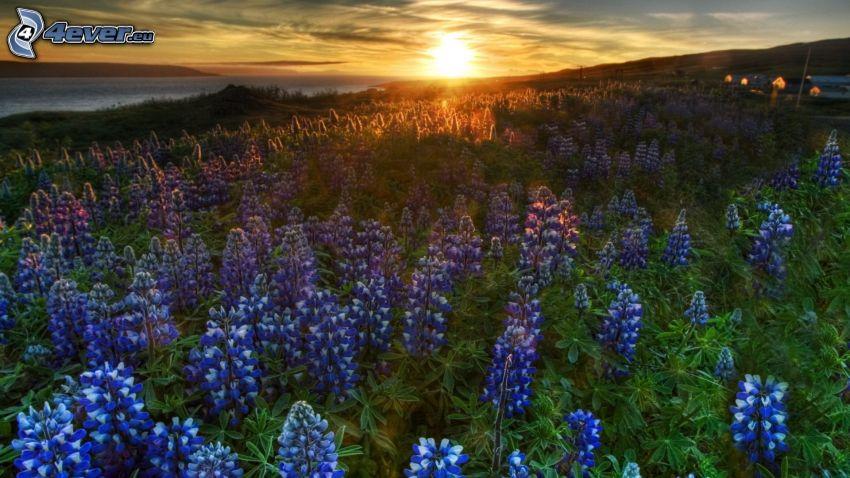 solnedgång över äng, lavendelfält, lila blommor