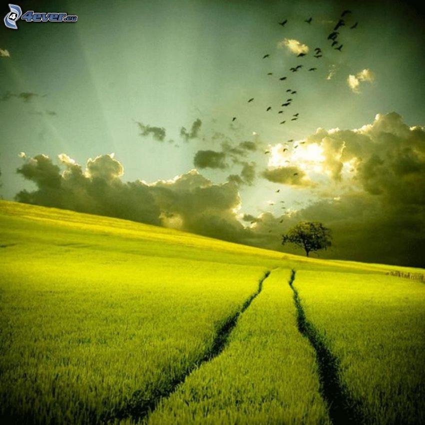 solnedgång över fält, ensamt träd, fågelflock