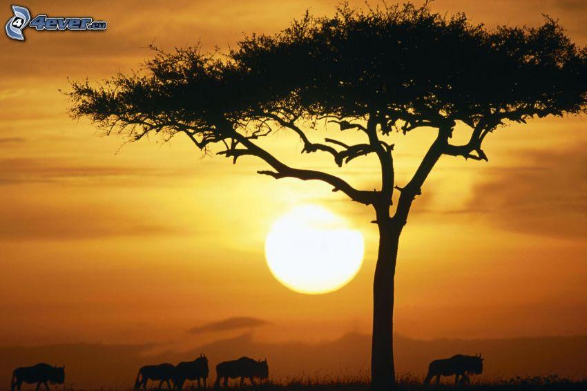 solnedgång på savann, siluett av ett träd, silhuetter av djur, tjurar, orange himmel