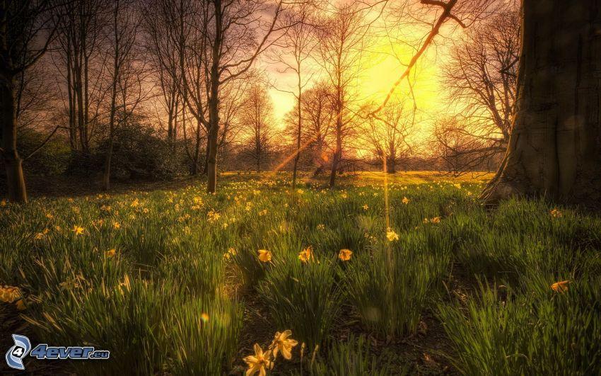 solstrålar, sol, påskliljor