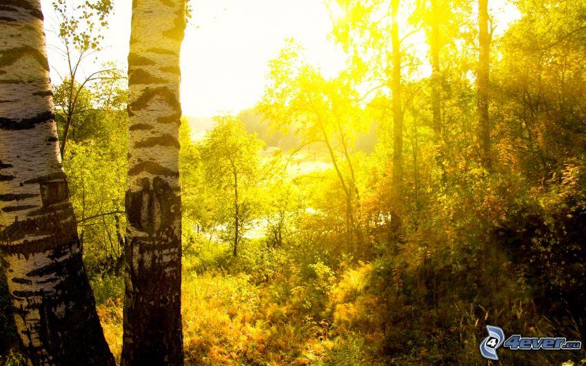 solstrålar i skog, björkar, sken