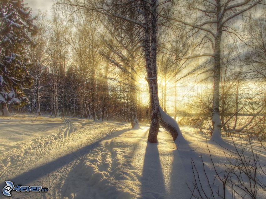 solstrålar i skog, frysta björkar, snöig skog