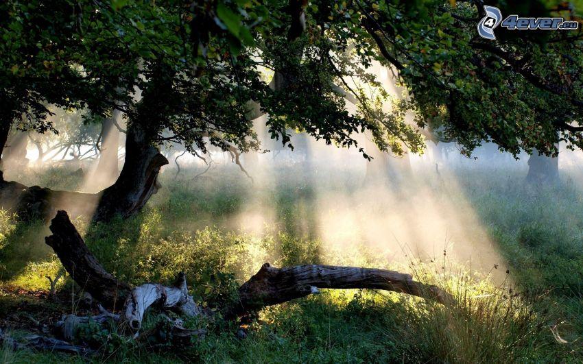 solstrålar i skog, gren, gräs