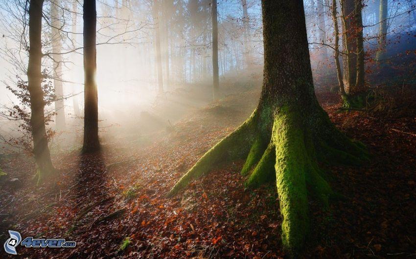 solstrålar i skog, träd, mossa