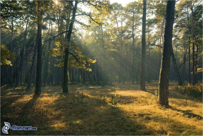 solstrålar i skog