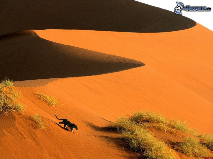 Sossusvlei, leopard, sanddyn