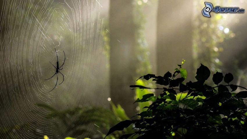 spindel på spindelnät, buske, solstrålar i skog