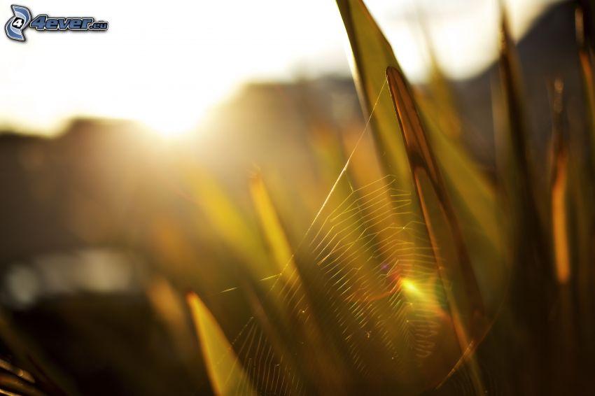spindelnät på gräs, solnedgång