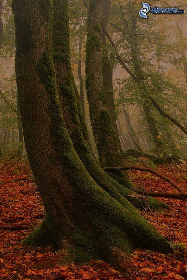 stam, mossa, höstskog, dimma