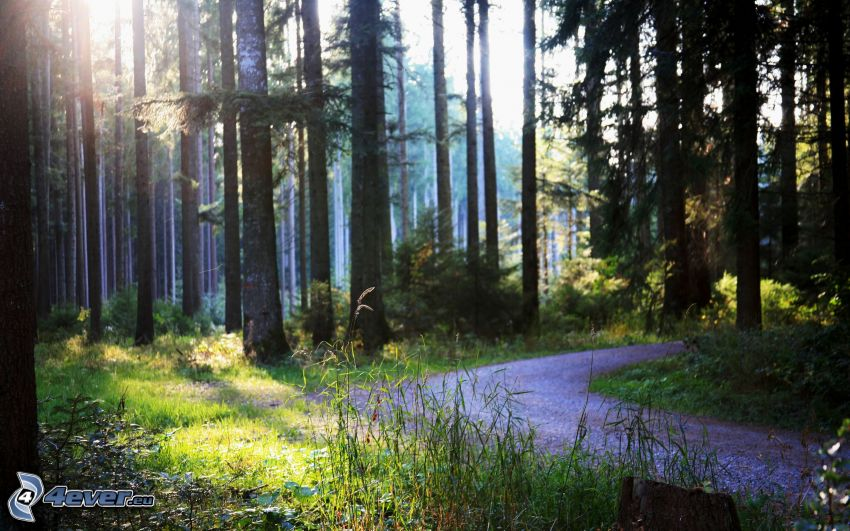 stig genom skog, solstrålar i skog, gräs