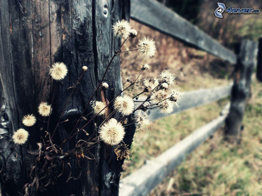 torkade blommor, trästaket