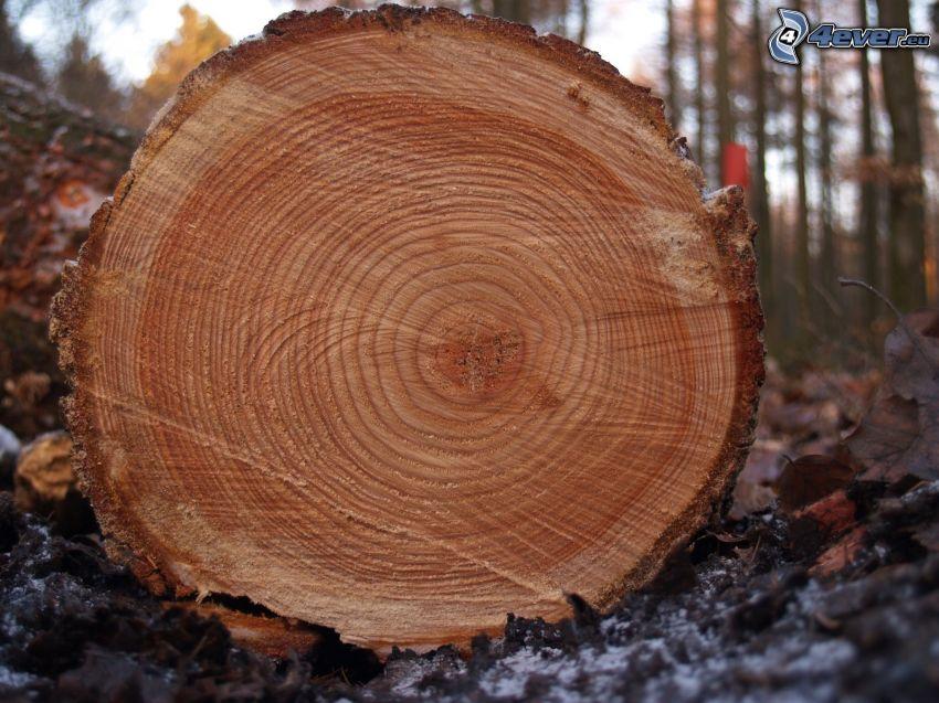 trä, stam, årsringar