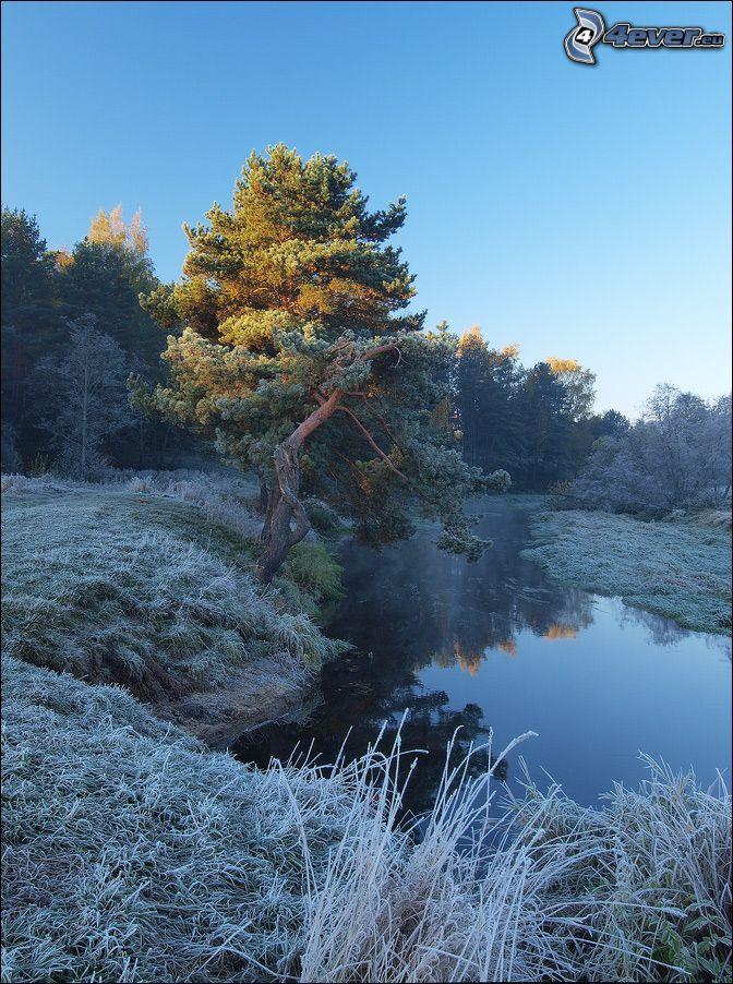 träd, bäck, frost