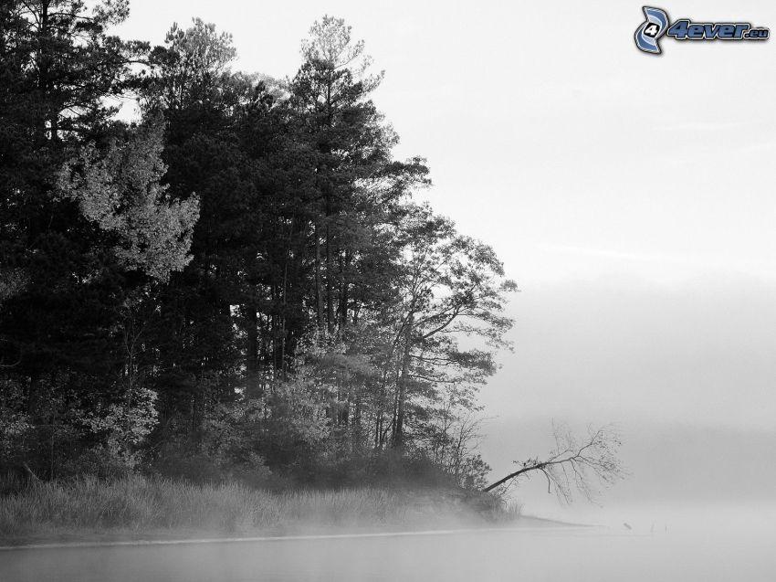 träd, dimma, svart och vitt