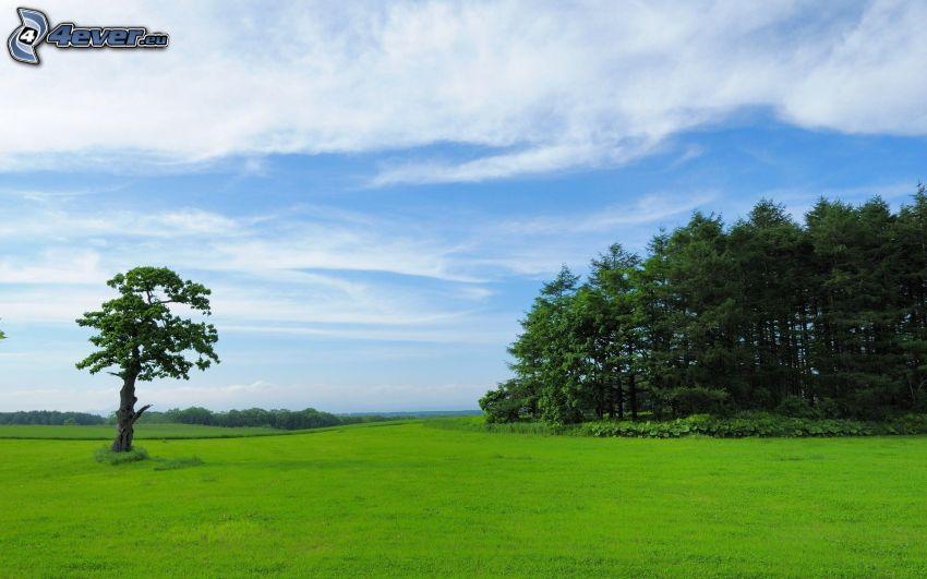 träd, ensamt träd, grön äng, himmel