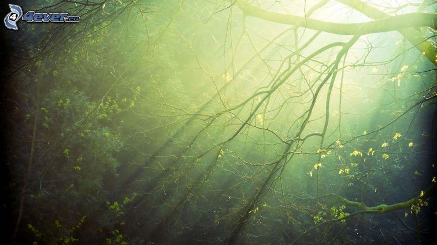 träd, grenar, solstrålar i skog