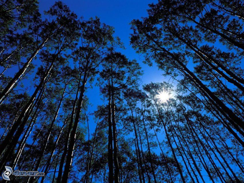 träd, sol