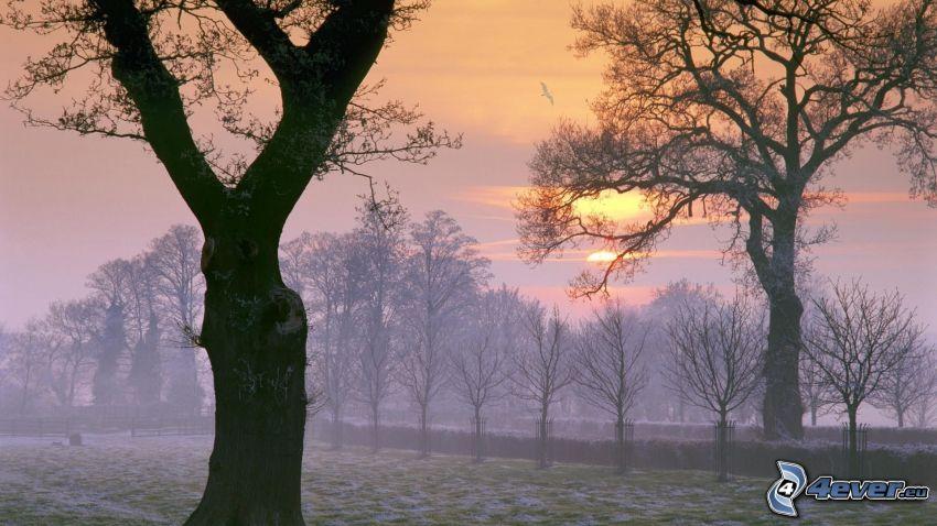 träd, solnedgång, dimma