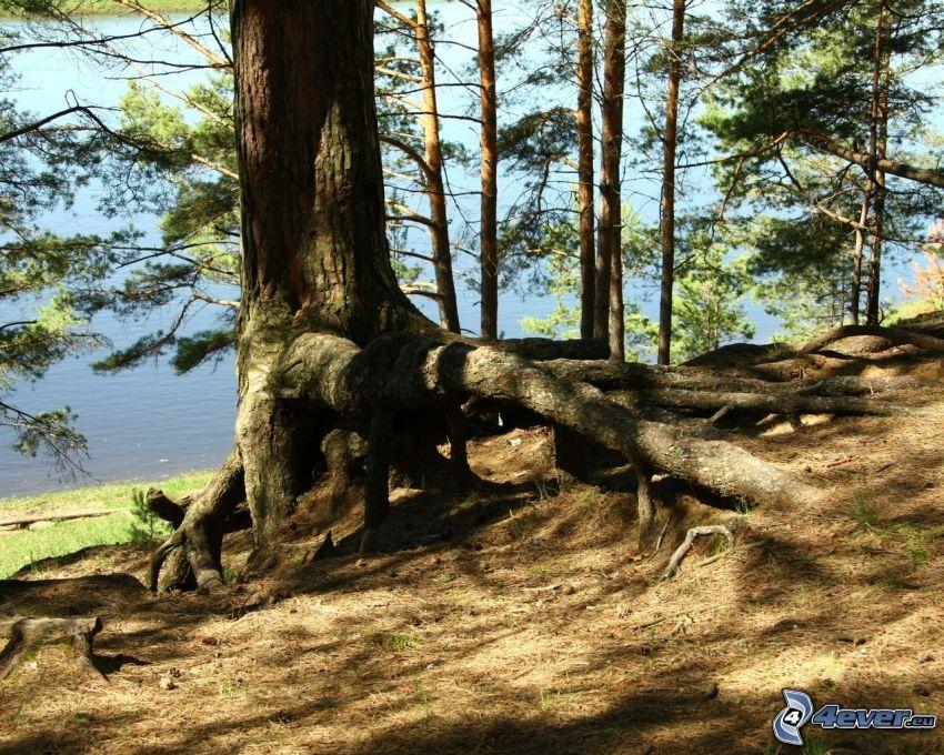 träd, stam, rötter