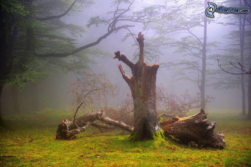 träd, trädstammar, dimma