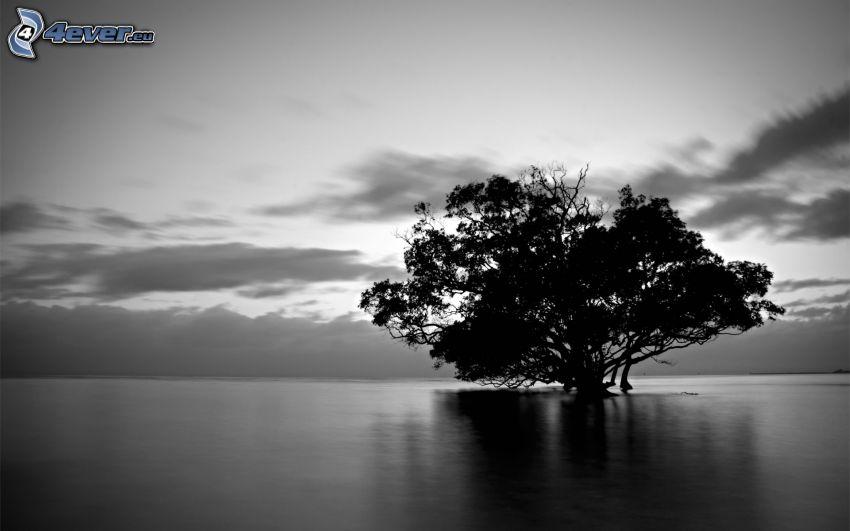 träd vid sjö, ensamt träd, spretigt träd