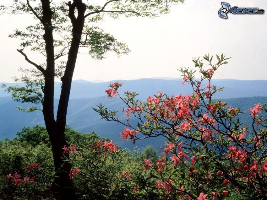 utblommat träd, rosa blommor, utsikt över landskap