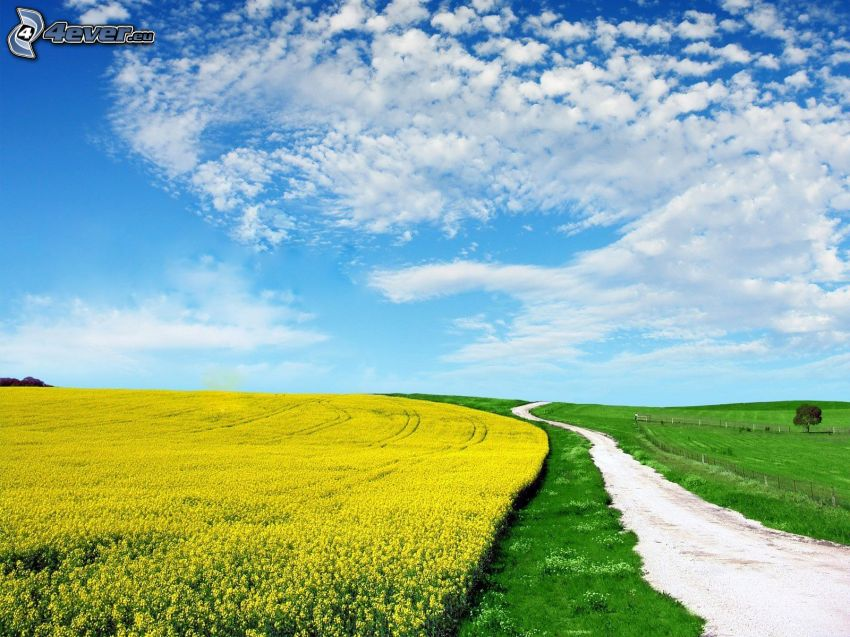 väg, gult fält, moln