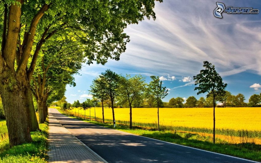 väg, träd, gult fält