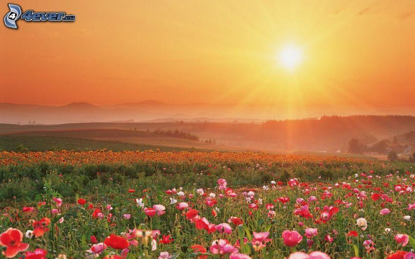 vallmo, solnedgång över äng