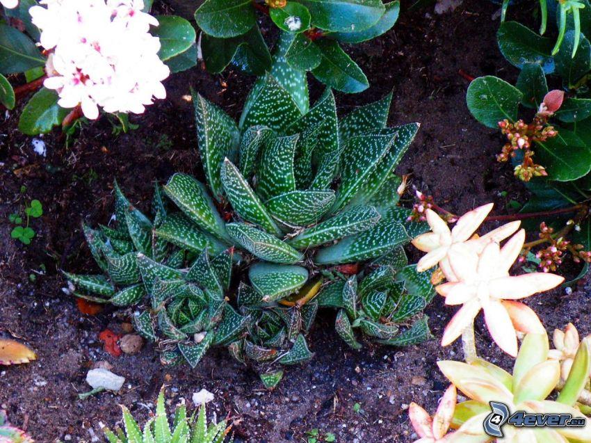 Aloe aristata, blommor