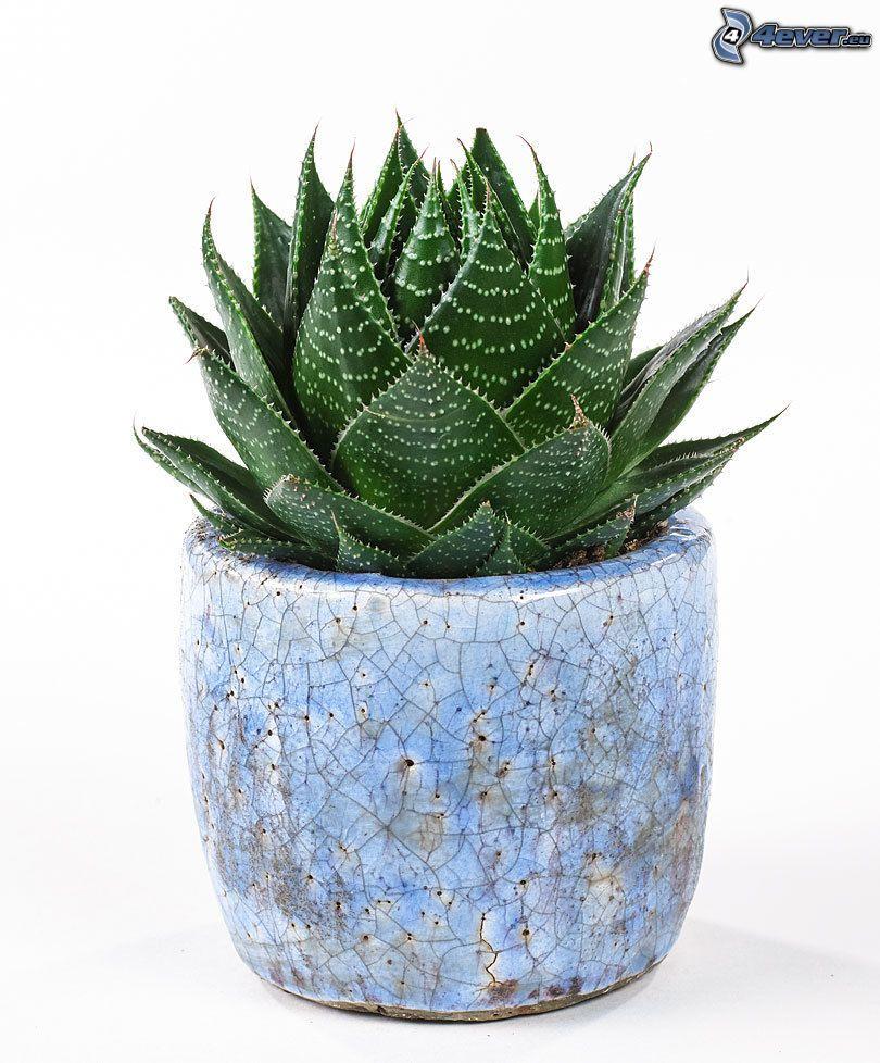Aloe aristata, kruka