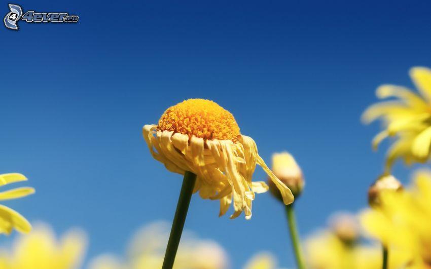 avblommade blommor, gula blommor