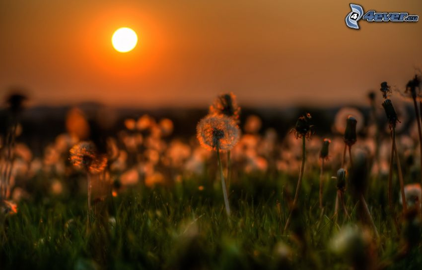 avblommade maskrosor, solnedgång över äng