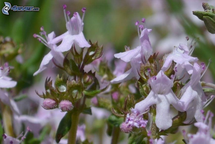 backtimjan, lila blommor