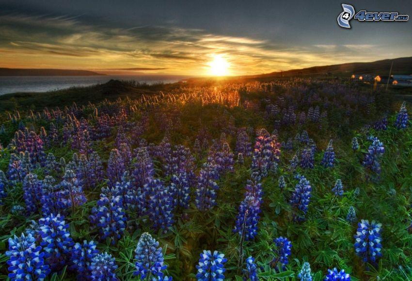 blå blommor, åker, solnedgång bakom fält