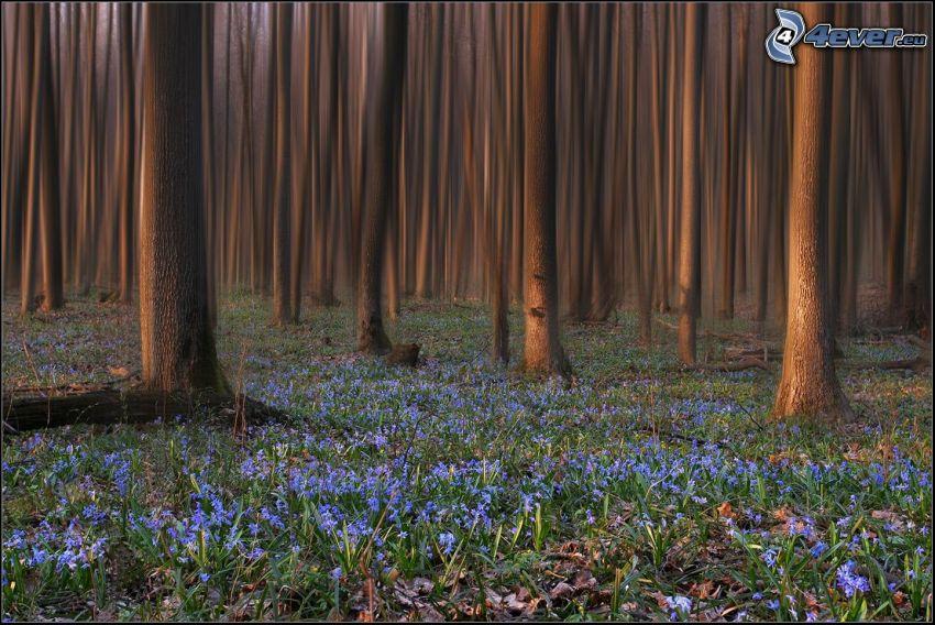 blå blommor, skog, trädstammar