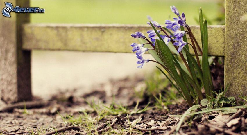 blå blommor, trästaket