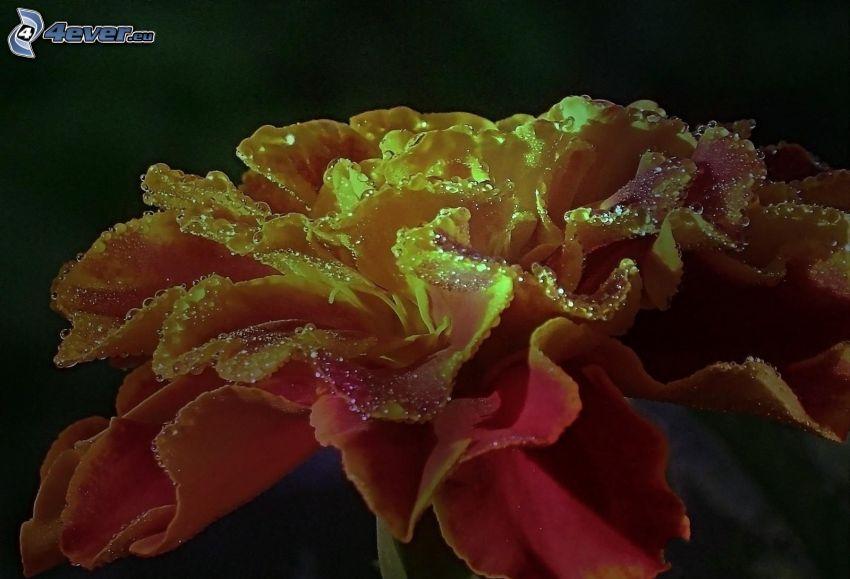 blomma, vattendroppar, makro