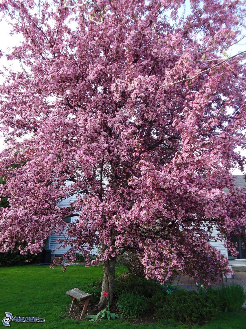 blommande äppelträd, rosa träd