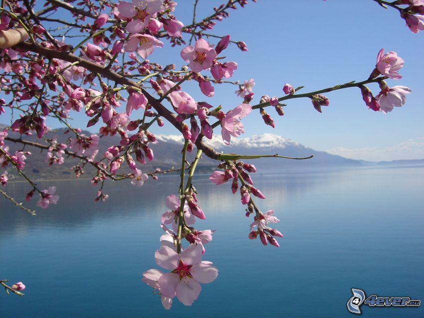 blommande kvist, hav, snöig bergskedja