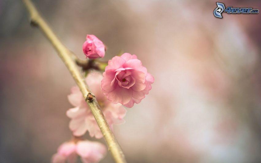 blommande kvist, rosa blomma