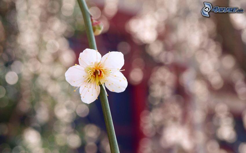 blommande kvist, vit blomma
