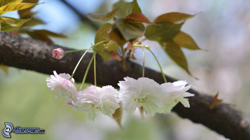 blommande kvist, vita blommor