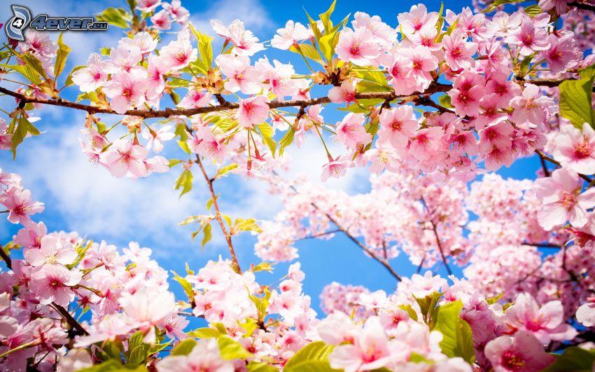 blommande träd, rosa blommor