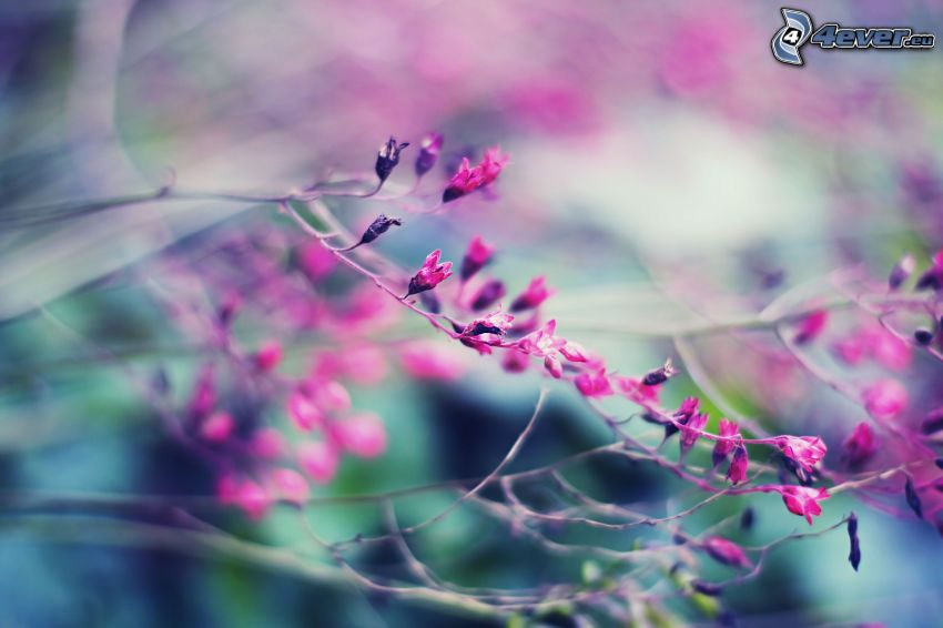 buske, rosa blomma