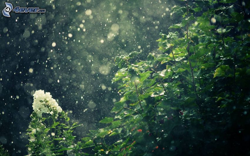 buske, vit blomma, regndroppar