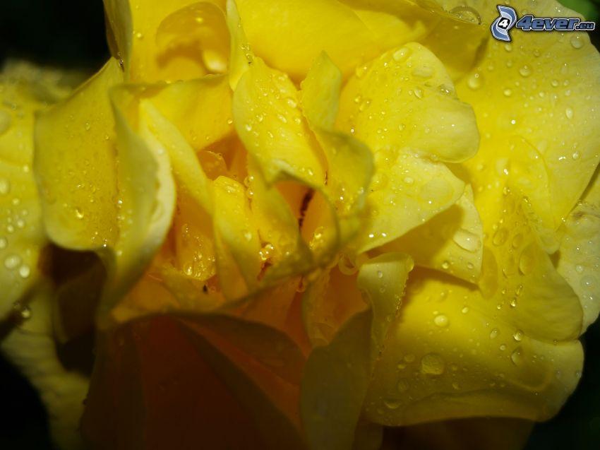 dagg på blomma, gul blomma