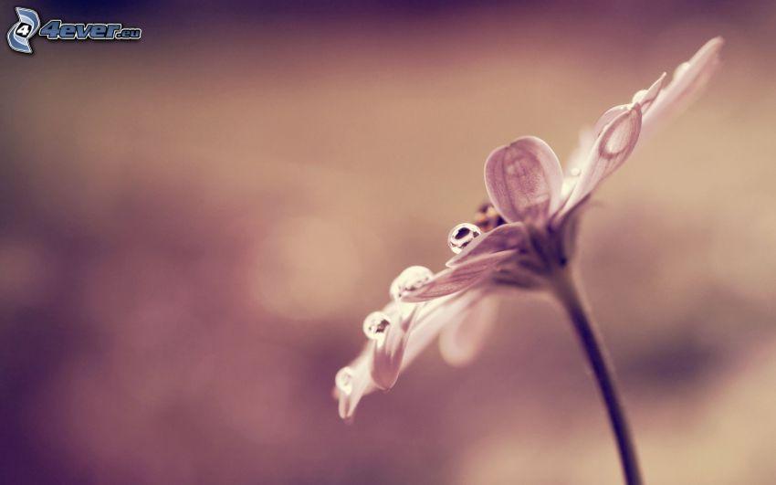 dagg på blomma