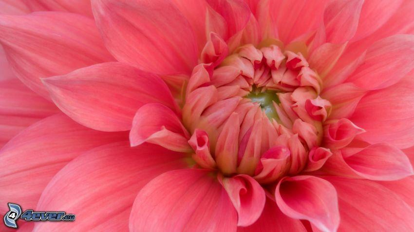 dahlia, blomma