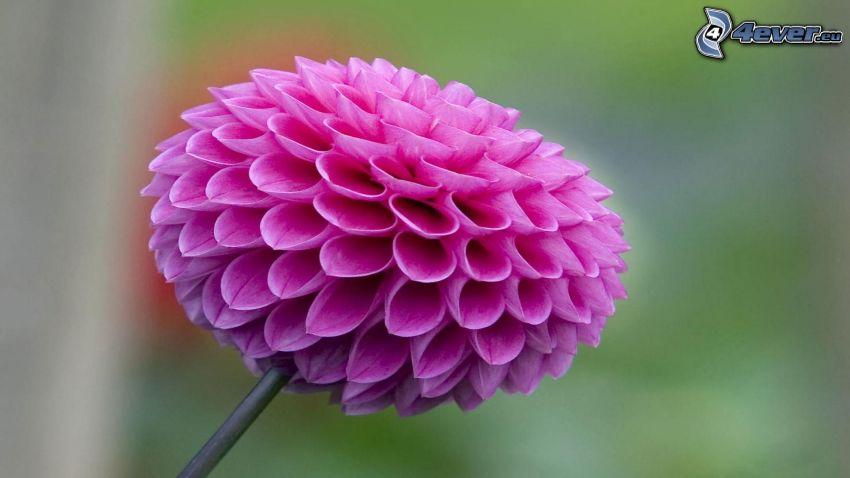 dahlia, lila blomma